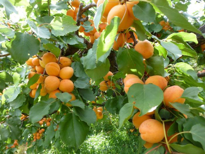 spät blühende aprikosensorten