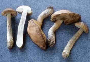 Sopa de hongos de corteza de abedul. La receta para cocinar