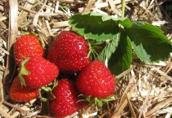 Marshal Strawberry: Beschreibung der Sorte, Bewertungen