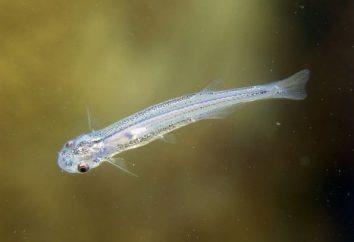 Wandelia – ryby, przerażające