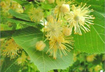 Lipa: la floraison et surtout l'arbre de miel