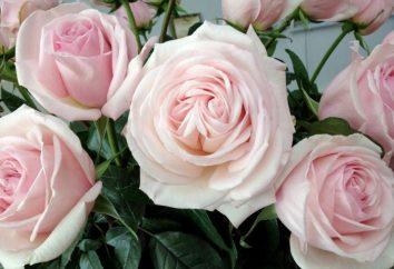 """""""Królowej kwiatów"""" – Hybrid Tea Rose. Sadzenie i pielęgnacja kwiatów"""