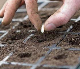 Jak wyhodować kwiat z nasion? Jak sadzenia nasion róż?