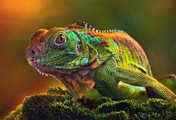 Jak kameleon zmienia kolor, a czego to zależy?
