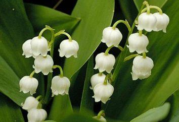 Opis kwiat konwalii. Konwalia (convallariamajalis L.)