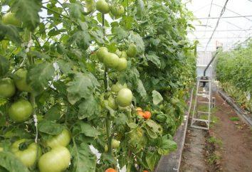 Was ist die Pflege der Tomaten im Gewächshaus?