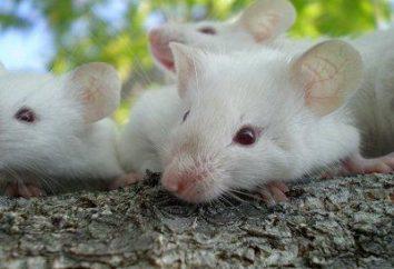 Interpretazione dei sogni: sogno, vide un topo – a che cosa?