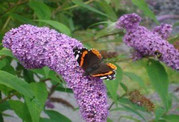 Race lilacs: maladie de brousse