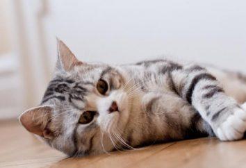 Szkocki pryamouhie cat: opis rasy