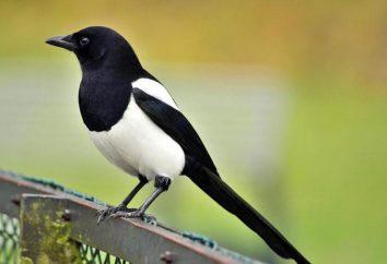 Magpie – ptak przejścia, czy nie? Sroka: opis, styl życia