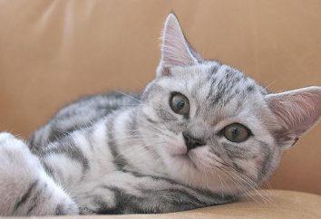 Ile jest British kitten – egzotyczny ulubieniec rodziny