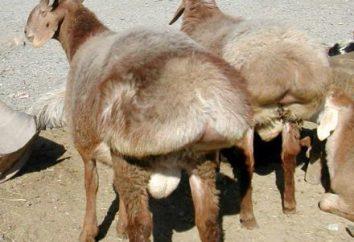 Fat-tailed owca: krótki opis, cena