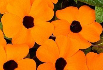 Thunberg annuale: cresce dal seme