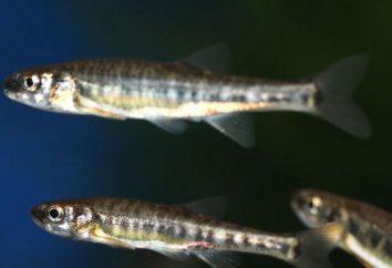 Ryba minnow: znaczenie handlowe i sposoby rybołówstwa amatorskiego