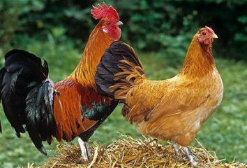 Als Hähne befruchtete Hühner? Wie viele Hühner können Hahn befruchten?