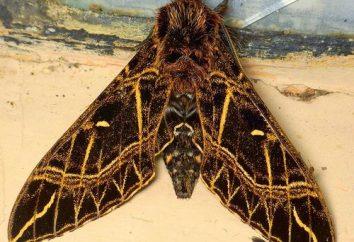 Les papillons sont un miracle mourant parmi les insectes