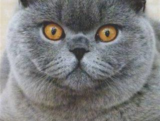 Wie viele gehen an die britischen trächtigen Katzen: der Zeitpunkt, Bühnen und bietet wöchentlich
