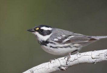 Sänger (Vogel), die bewohnt? Foto und Beschreibung