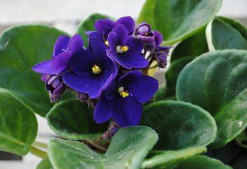 ¿Por qué las hojas de violetas se levantan y se retuercen?