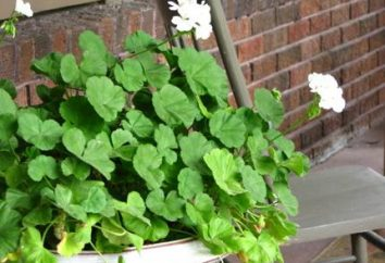 ¿Sabe usted, ¿por qué no florecer geranio?