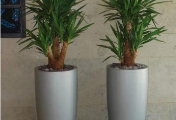 Yucca ogród i sypialnia. przesadzania roślin