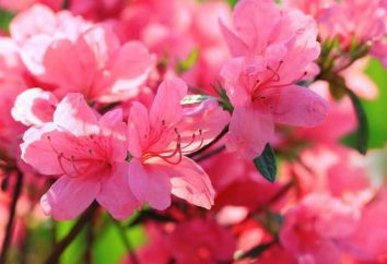 Reproduction de rhododendrons par boutures, couches et graines. Rhododendrons: Growing and Care