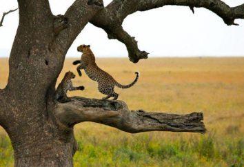 Parcs nationaux: Serengeti. Flore et faune de l'Afrique