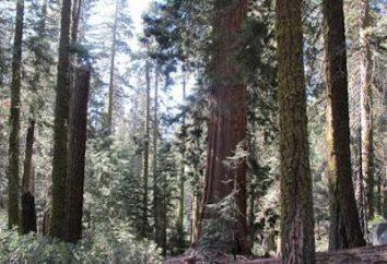 Sequoia – un albero, il più alto del mondo