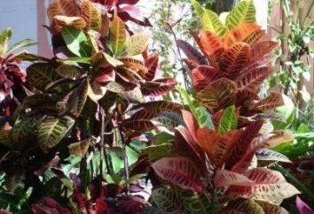 fiori stupefacenti cratoni: la cura e la riproduzione