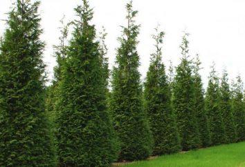 estacas reprodução arborvitae no outono. estacas de reprodução arborvitae e sementes (Modo Casa)