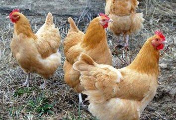 Wie sieht das Huhn aus? Für die Gäste und angekommen!