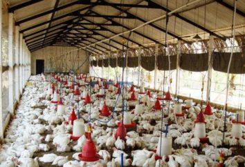 Poulets: soins et l'alimentation à la maison