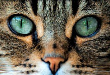 Jak kot reaguje na jasnych obiektów. Jak kot widzi świat