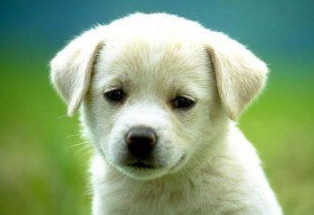 Dlaczego pies czerwony białek oczu? Co robić w tej sytuacji?