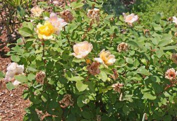 Quali sono i fertilizzanti necessari per le rose?