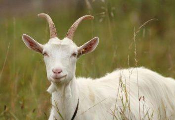 Znaki polowania w kozy: opis, czas trwania i ciekawostki