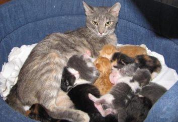 Información para los amantes de las mascotas: cómo y con qué alimentar a los gatos lactantes