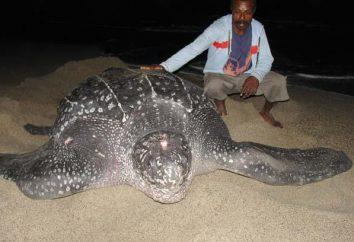 più grande tartaruga del mondo – che cos'è?