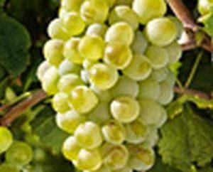 Augustine – raisins de variétés