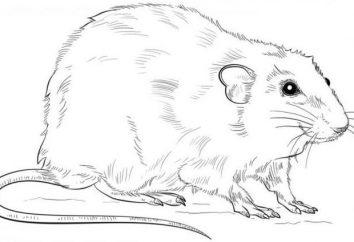 Jak narysować szczur w etapach