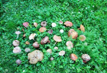Come scegliere i funghi: commestibile e non commestibile nella regione di Kharkiv