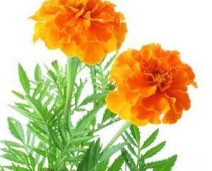 Sommerblumen: die richtige Wahl