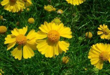 Garten Blume Helenium – Pflanzung und Pflege