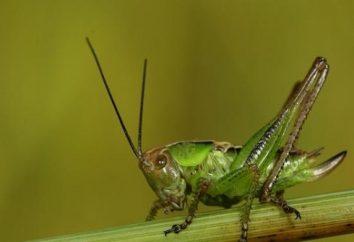 Doubles et mystificateur: insectes comme les sauterelles, – ce n'est pas une sauterelle