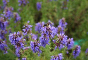 La hierba hisopo: plantación y cuidado, crecimiento de la semilla