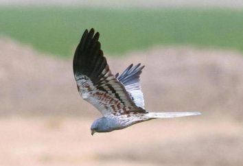 Harrier de Montagu, um pássaro da família Accipitridae presa: Descrição, habitat