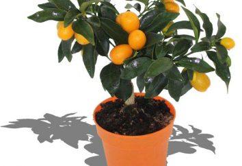 Jak sadzić, jak propagować, jak dbać: Citrus Fortunella – radość w domu