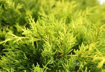 Juniperus Old Gold: description, la productivité et des recommandations pour la culture