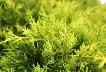 Juniperus Old Gold: descrizione, la produttività e le raccomandazioni per la coltivazione