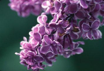 Wie ein lila pflanzen: Grundregeln